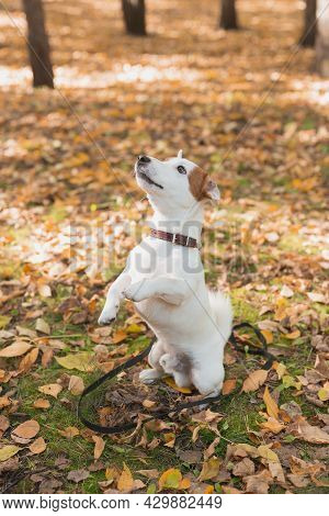 Funny Jack Russell Terrier Dog Stands On Its Hind Legs In Autumn Leaves. Pet Training Concept