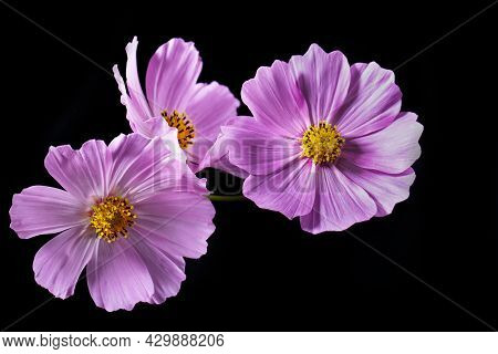 Pink Cosmos Flower (cosmos Bipinnatus) On A Black Background. Poster.