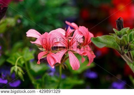 Closeup Of Pink Ivy Geraniums Pelargonium Peltatum Flowers And Foliage