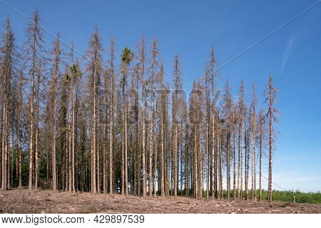 Panoramic Image Of Dead Forest, Forest Dieback In North Rhine Westphalia, Germany