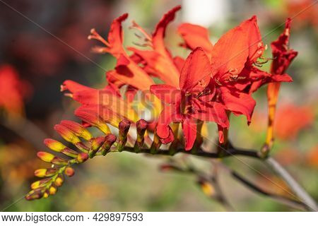 Close Up Image Of Garden Montbretia (crocosmia Crocosmiiflora)