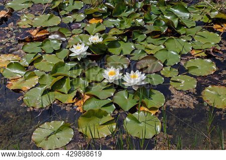 Nymphaea Alba Flowering Plants. White Waterlily Flowers In The Decorative Pond.