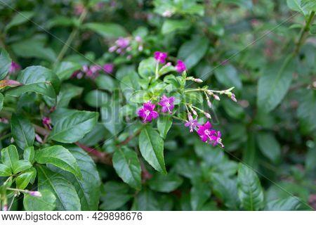 Fuchsia Trientje Hybrid F. Encliandra X F. Paniculata. Pink Flowers And Green Leaves