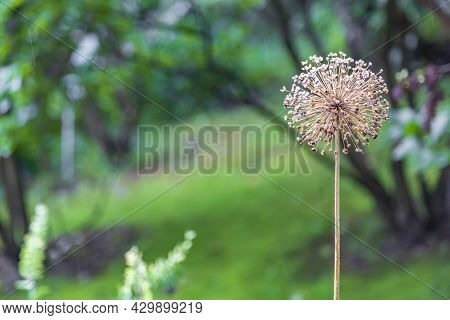 Perennial Bulbous Herb Allium From The Family Alliaceae