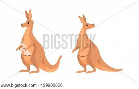 Brown Kangaroo Marsupial Animal With Powerful Hind Legs And Joey In Pouch Vector Set
