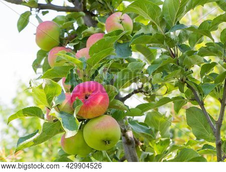 Beautiful Apple Tree With Fruits - They Start To Ripen