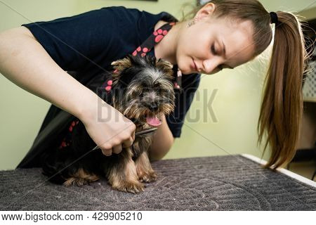 Groomer Combs The Comb Of Yorkshire Terrier.