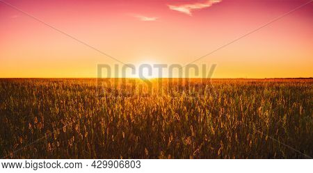 Panorama Of Meadow Grass In Yellow Sunlight At Later Summer Or Early Autumn Season On Bright Sun At