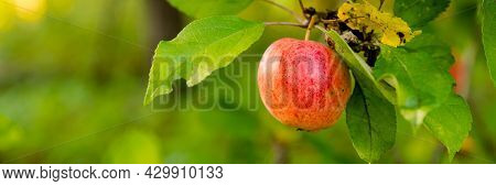 Colorful Outdoor Shot Containing A Bunch Of Red Apples On A Branch.harvest Time Orchards. Apple Pick
