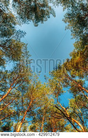 Canopy Of Tall Pine Trees. Upper Branches Of Woods In Coniferous Forest. Low Angle View. Summer Pine