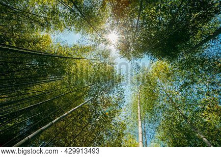 Spring Sun Shining Through Canopy Of Tall Trees Bamboo Woods. Sunlight In Tropical Forest, Summer Na