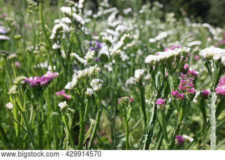 Many Multicolored Statice Flowers Grow In Garden Closeup Background