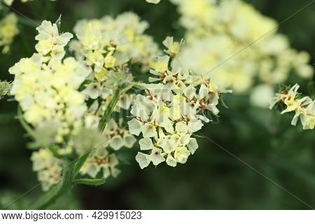 White Statice Flowers Growing In Garden Closeup Background