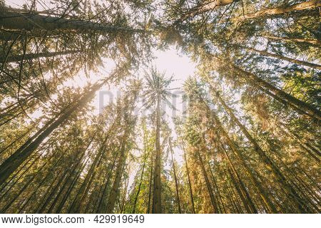 Looking Up In Autumn Pine Coniferous Forest Trees Woods To Canopy. Bottom View Wide Angle Background
