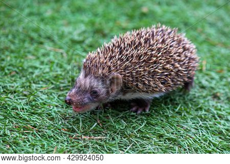 A Hungry Hedgehog Runs In A Green Meadow