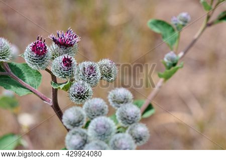 A Lot Of Thistle Flowers Close-up In Summer