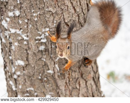 Portrait Of A Squirrel On A Tree Trunk. Funny Squirrel Sitting On A Tree Trunk In Winter. Eurasian R