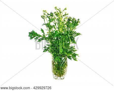 Bouquet Of Wormwood Plants Bitter On A White Background. Artemisia Absinthe. Bouquet Of Flowers In A