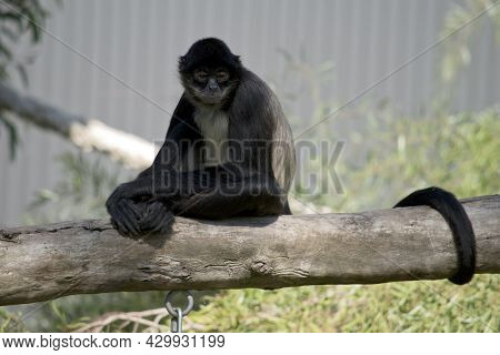 The Spider Monkey Has A Cream Chest And Is Maily Black And Gray With A Long Tail