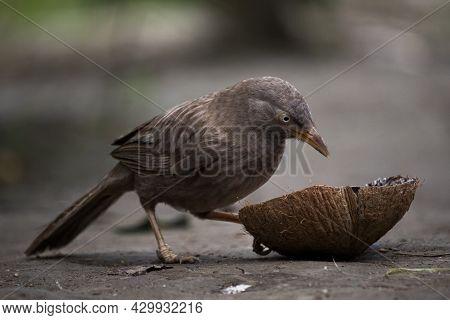 Beautiful Indian Jangle Babbler Bird Eating Coconut