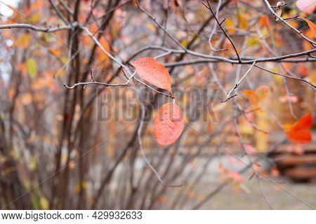 Autumn Garden In Late Autumn. Background Of Two Red Leaves On Leafless Trees In Garden On Cloudy Day