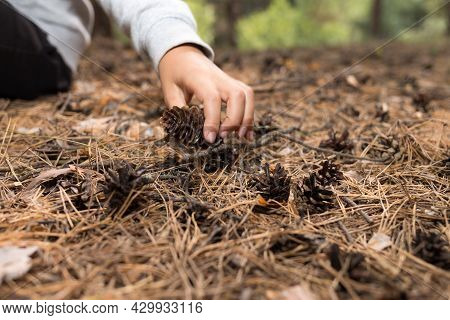 Child Gathered Dry Pine Cones In Forest, Nature Study Activity For Kids