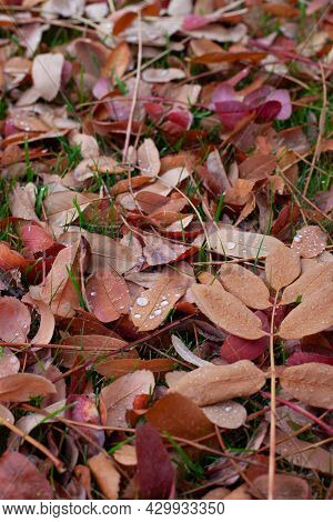 Autumn Background Of Leaves. Fallen Colorful Leaves Of Trees Lying On Green Grass With Water Drops F