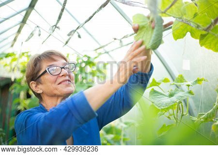 Happy Smiling Mature Woman Take Care Of Cucumbers In Greenhouse, Farming, Gardening, Old Age And Peo