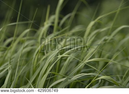 Water Droplets On Fresh Green Grass In The Early Morning