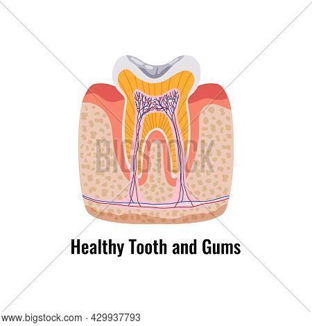 Dental Anatomy Poster With Flat Healthy Tooth And Gums Vector Illustration