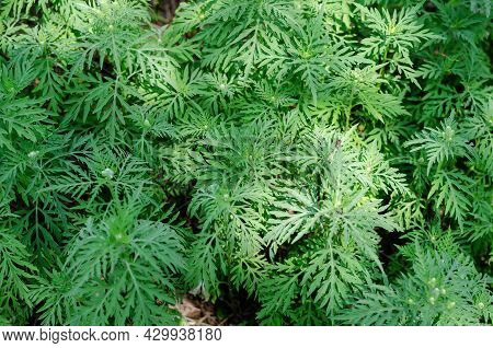 Green Leaves Cosmos Sulphureus Is A Species Of Flowering Plant In The Sunflower Family Asteraceae, A