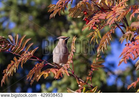 Elegant Songbird Bohemian Waxwing, Bombycilla Garrulus Perched On The Branch, Sitting In The Middle