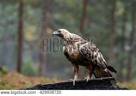Majestic Adult Raptor Golden Eagle, Aquila Chrysaetos Perched On A Burnt Tree During Autumn Foliage