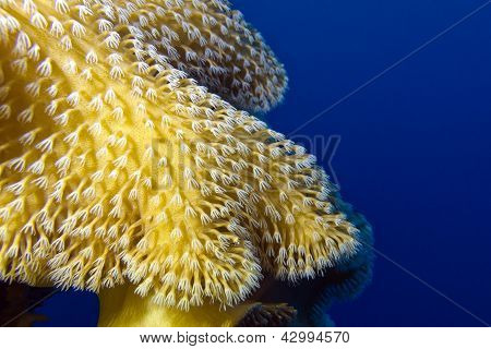coral reef with beautiful great soft coral at the bottom of red sea in egypt poster