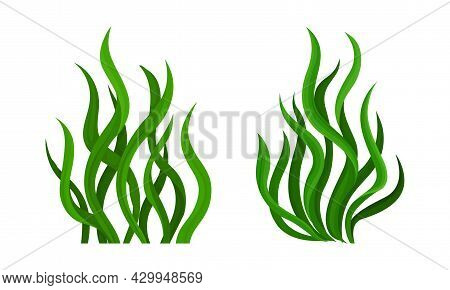 Green Seaweed Leaves Set. Spirulina Plant Vector Illustration