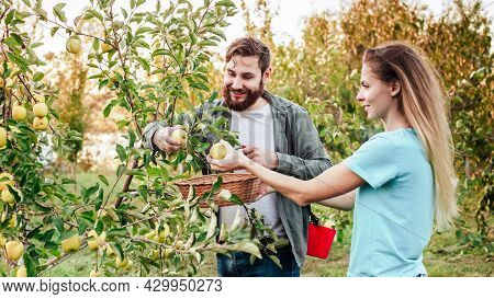 Young Male And Female Farmer Workers Crop Picking Apples In Orchard Garden During Autumn Harvest. Ha