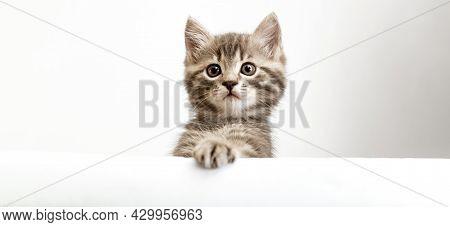 Kitten Head With Paw Up Peeking Over Blank White Sign Placard. Pet Kitten Curiously Peeking Behind W