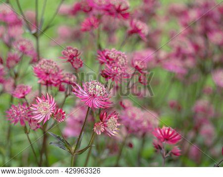 Pretty Flowers Of Masterwort Astrantia Major Ruby Star