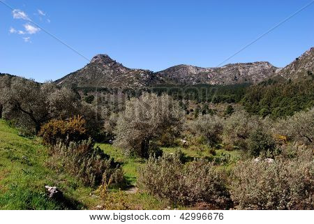 Olive grove in mountains, Andalusia.