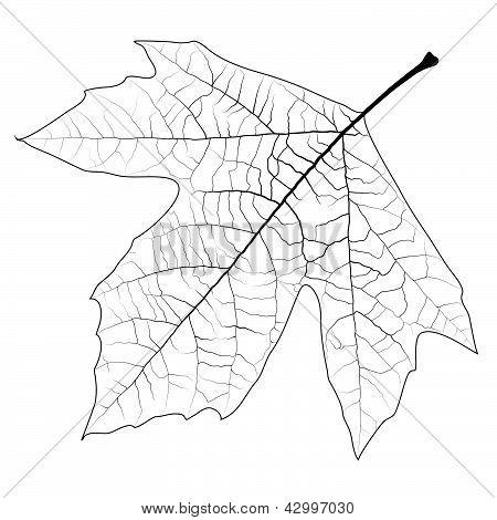 Sycamore Autumn Leaf