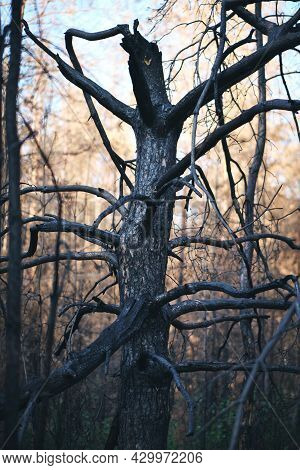 Charred Burnt Tree After Forest Fire, Forest Fires After An Abnormal Heat Wave, Arson And An Environ
