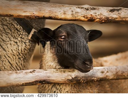 Portrait Of A Lamb With Dark Fur On Its Muzzle, Which Stands Next To Its Mother In A Paddock With A