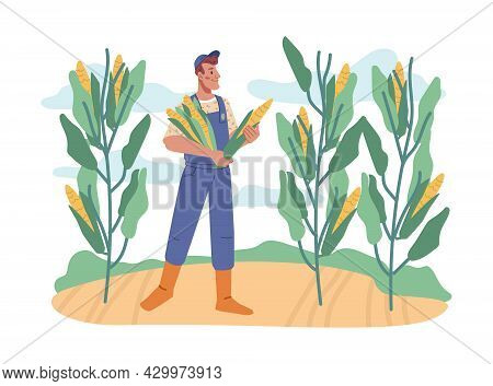 Farmer Working On Field Collecting Sweet Corn From Plants. Agriculture And Farming, Tenting And Grow