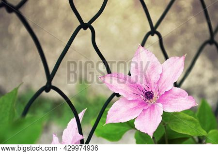 Close Up Of Pink Clematis Flower In The Garden