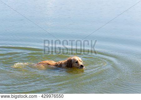 Yellow Labrador Retriever Dog Swimming In Blue Water In A Summer Day.labrador Retriever, Happy Dog S