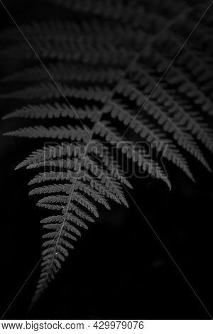 Black And White Fern Black Background. Tropical Leaf. Exotic Forest Plant. Botany Concept. Ferns Jun