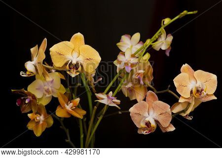 Orchid Flowers Phalaenopsis. Branches Of Flowering Orchid Phalaenopsis (known As Butterfly Orchids)