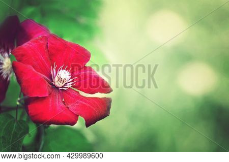 Mothers Day Card Or Background With Red Clematis Flower And Copy Space