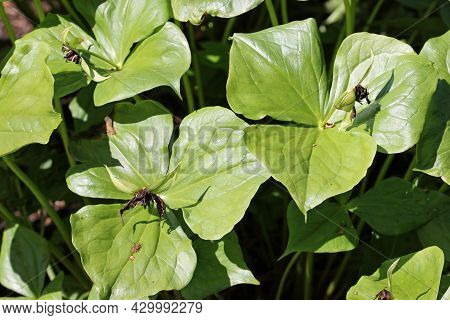 Birthwort Or Wake Robin, Trillium Erectum, Leaves And Fading Flowers With A Dark Blurred Background