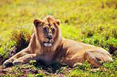 Young adult male lion lying on savanna in grass. Safari in Serengeti, Tanzania, Africa poster